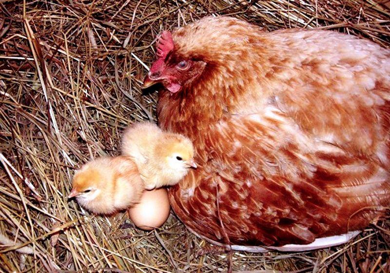 Форма гнездовья– чаша, на дно укладывается дёрн и присыпается соломой