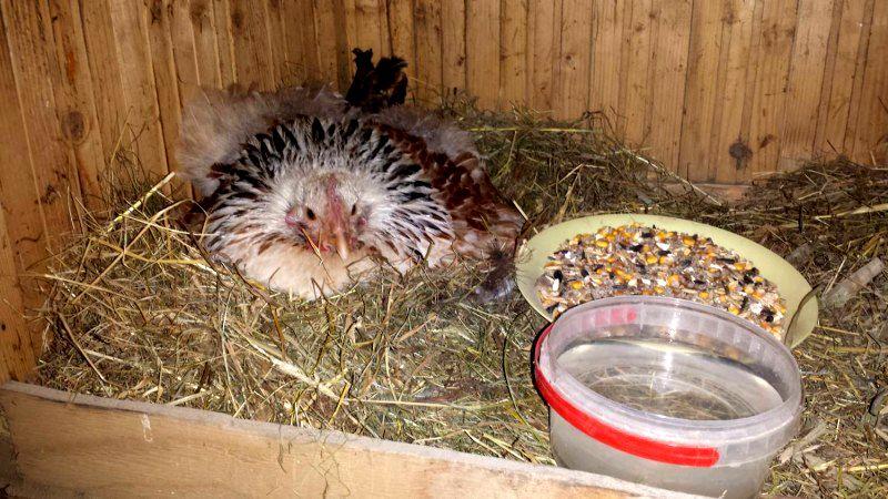 Гнездо для кур наседок