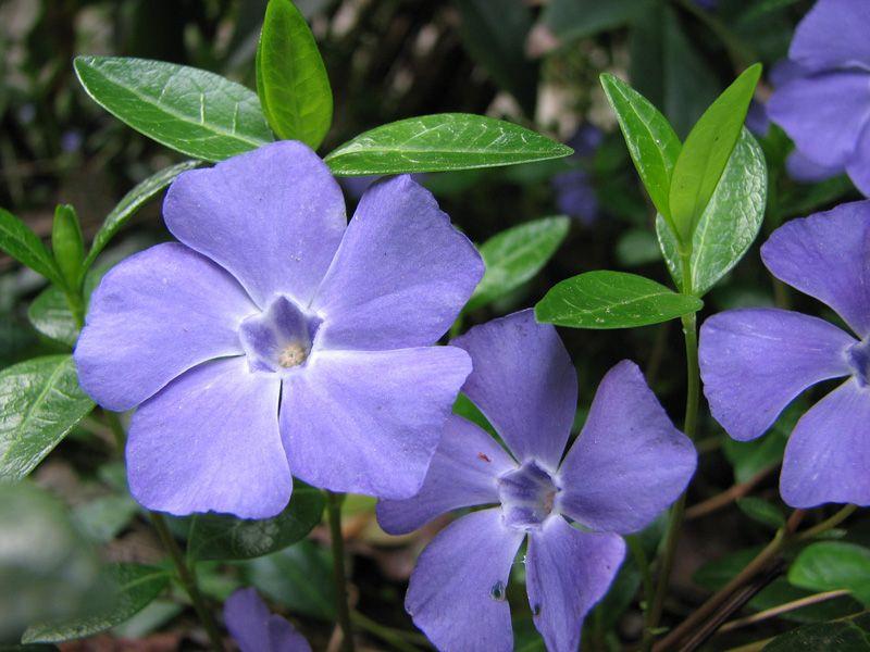 Красивое цветение барвинка