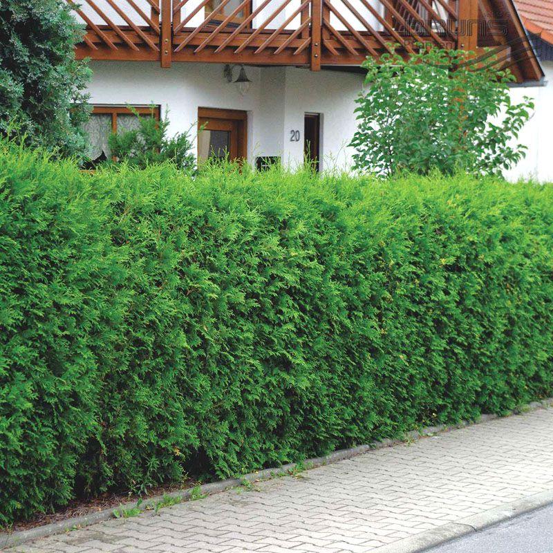 Вечнозеленые хвойники