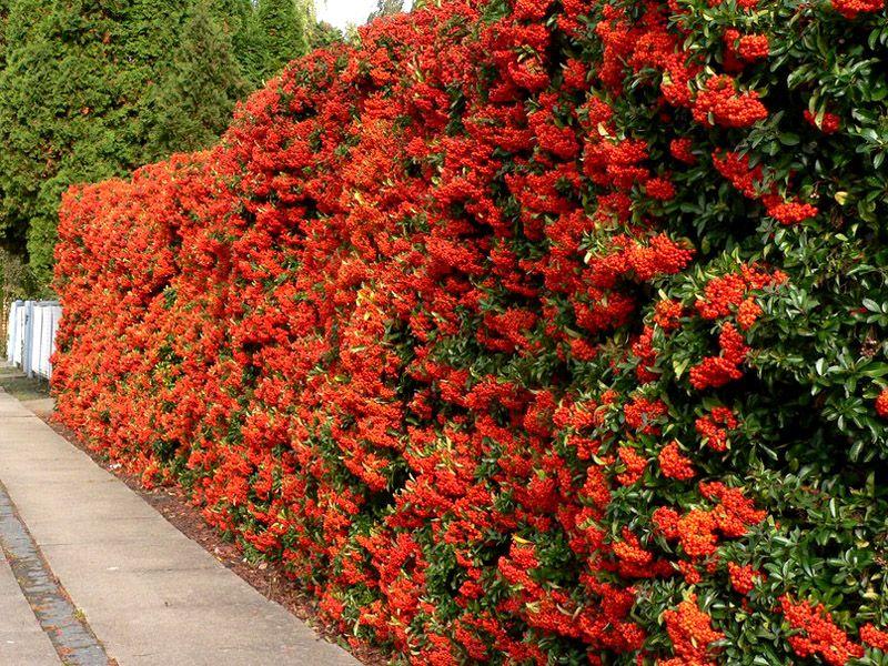 Роскошная изгородь в цвету