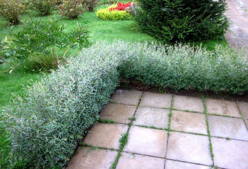 Изгородь небольшого размера используется как бордюрный вариант