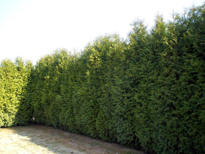 Забор из сибирского сорта пихты