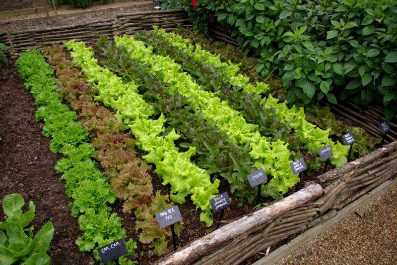 Расположение салатных посадок