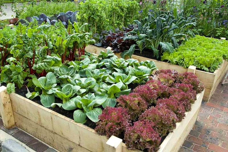 Высокая грядка с капустными растениями