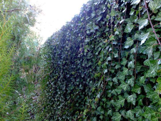 Вечнозеленый забор из плюща – быстро и красиво