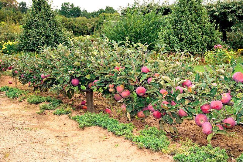 Плодовые деревья нужно правильно сочетать с остальной растительностью