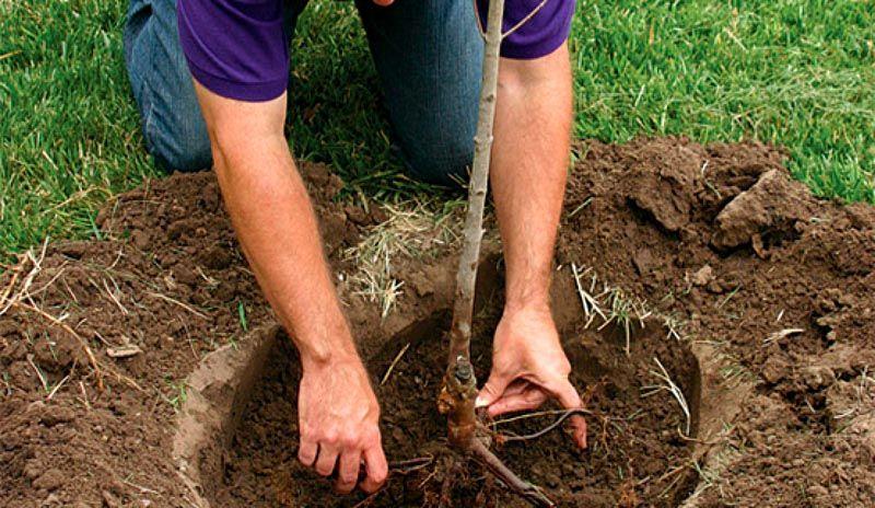 Во время посадки в лунку следует насыпать удобрения. Не ленитесь, сделайте углубление побольше: так вы хорошо перемешаете землю с полезными химикатами и создадите для молодых корешков рыхлую питательную среду, комфортную для роста