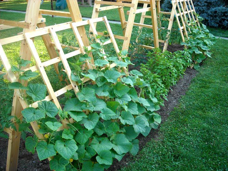 При выращивании в открытом грунте можно использовать шпалеры