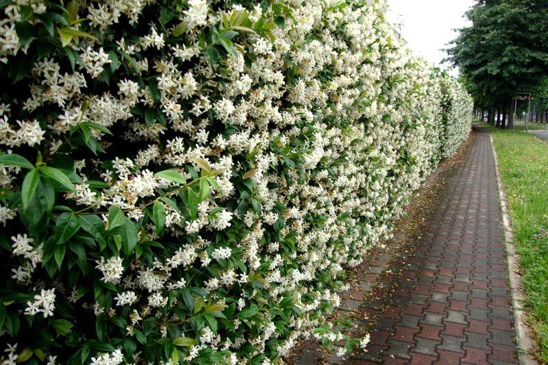 Все перечисленные разновидности растения очень неприхотливы и не нуждаются в тщательном уходе
