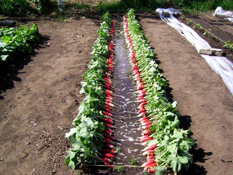 Узкие посадки обеспечивают формирование крупных плодов