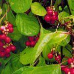 Как сделать зеленую изгородь: быстрорастущие вьющиеся растения для забора