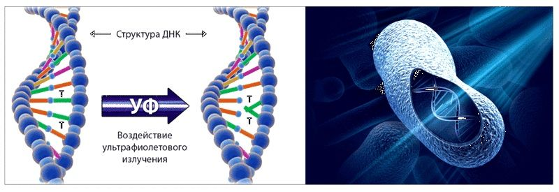 Воздействие ультрафиолета на ДНК бактерий
