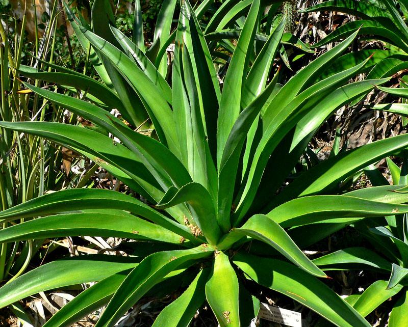 Волокно сизаль добывают из листьев агавы