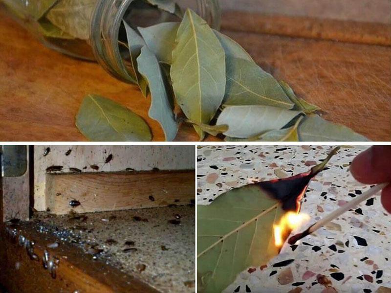 Как вывести муравьёв из дома народными средствами – листья лавра душистого помогут