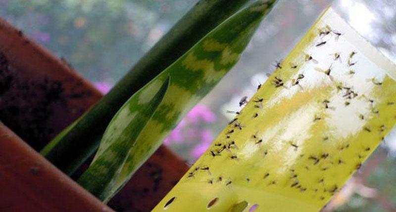 Ликвидация цветочных мошек