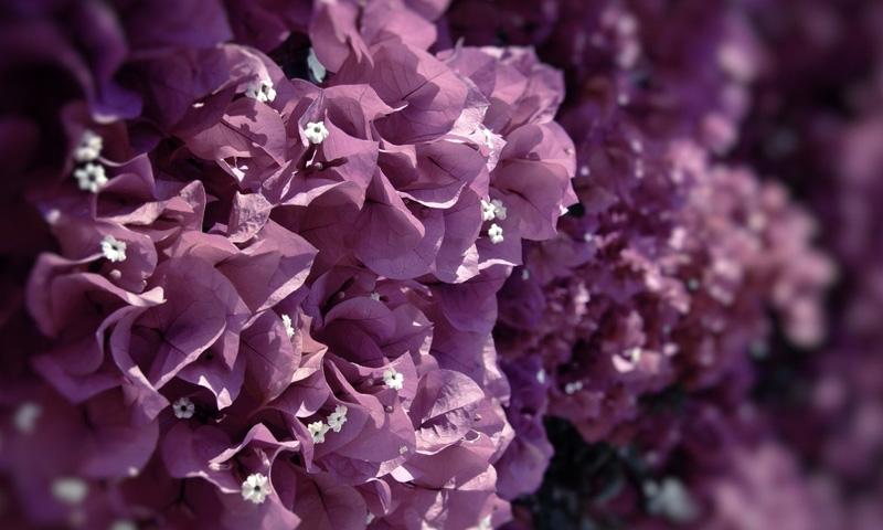 Чтобы получились пурпурные, лиловые или лавандовые оттенки, берут голубой базовый и добавляют к нему либо розовый, либо красный. Если ещё включить немного чёрного или белого, то тон станет темнее или светлее