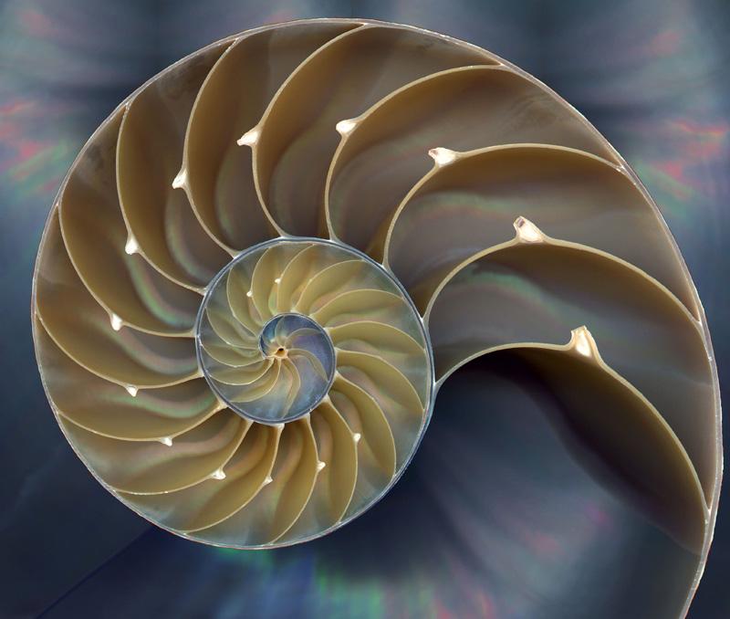 Идеальный пример ЗС в природе - раковина морского моллюска