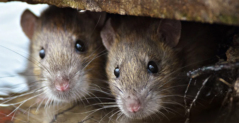 Отпугиватели щадяще действуют на грызунов, согласитесь: неприятно весной выносить из дома мёртвых животных