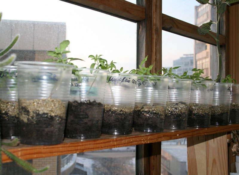 Емкость на ⅔ заполнить грунтом, пролить и высадить растения. По мере их роста подсыпать землю