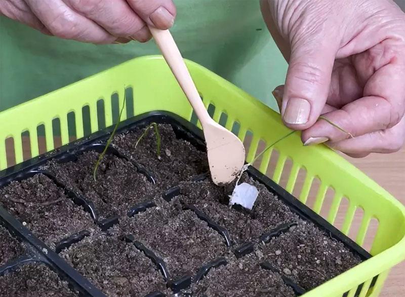 Обязательно нужно периодически рыхлить верхний слой почвы для хорошего воздухообмена