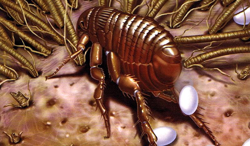 Живут блошки 2-3 месяца и в этот период самозабвенно откладывают до 500 яиц каждая