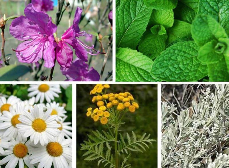 Растения с резким запахом заставят небольшую колонию клопов покинуть жилище