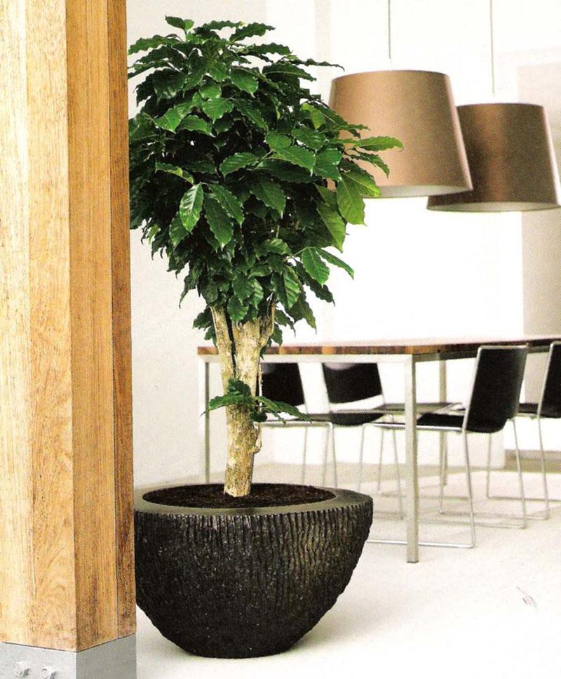 Кофейное дерево добавит комнате экзотики