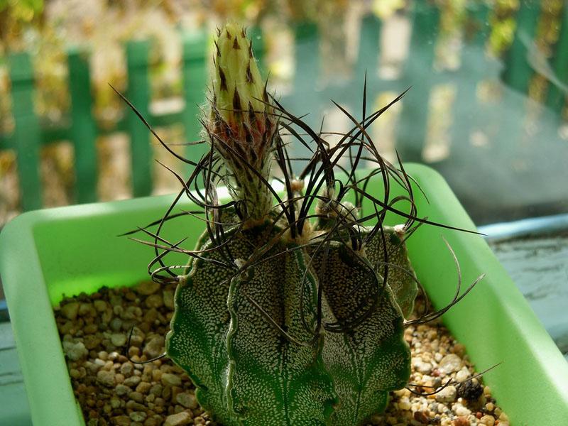 Астрофитумкозерогий: ребристый шарик постепенно превращается в цилиндр. На взрослом растении появляются ромашковидные жёлтые цветки
