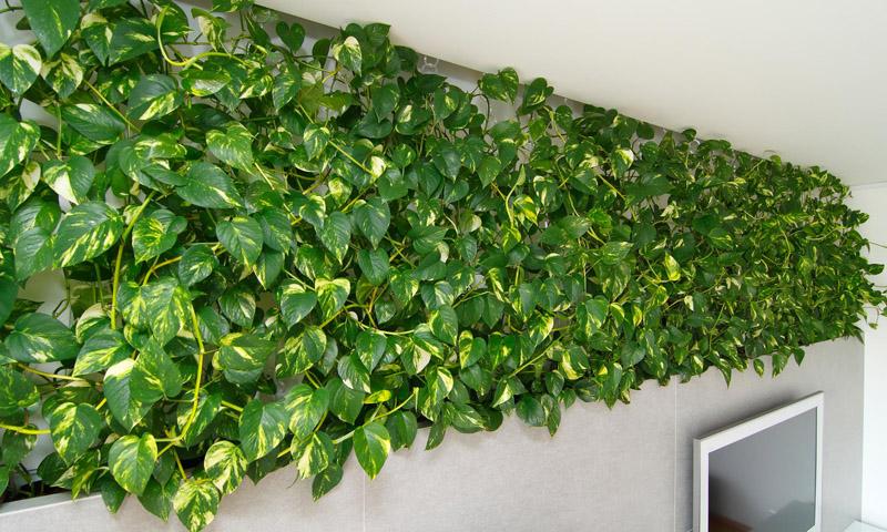 Сциндапсус быстро превращает стены комнаты в зелёные насаждения