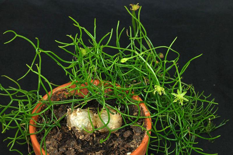 Утолщённая луковица, нежно вьющаяся зелёная масса побегов и россыпь звёздочек — бовиэя остаётся экзотическим и редким растением в наших широтах