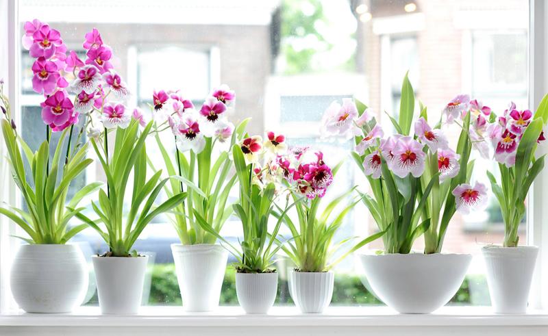 Мильтонию чаще выбирают профессионалы домашнего цветоводства, так как она является самой требовательной представительницей орхидей