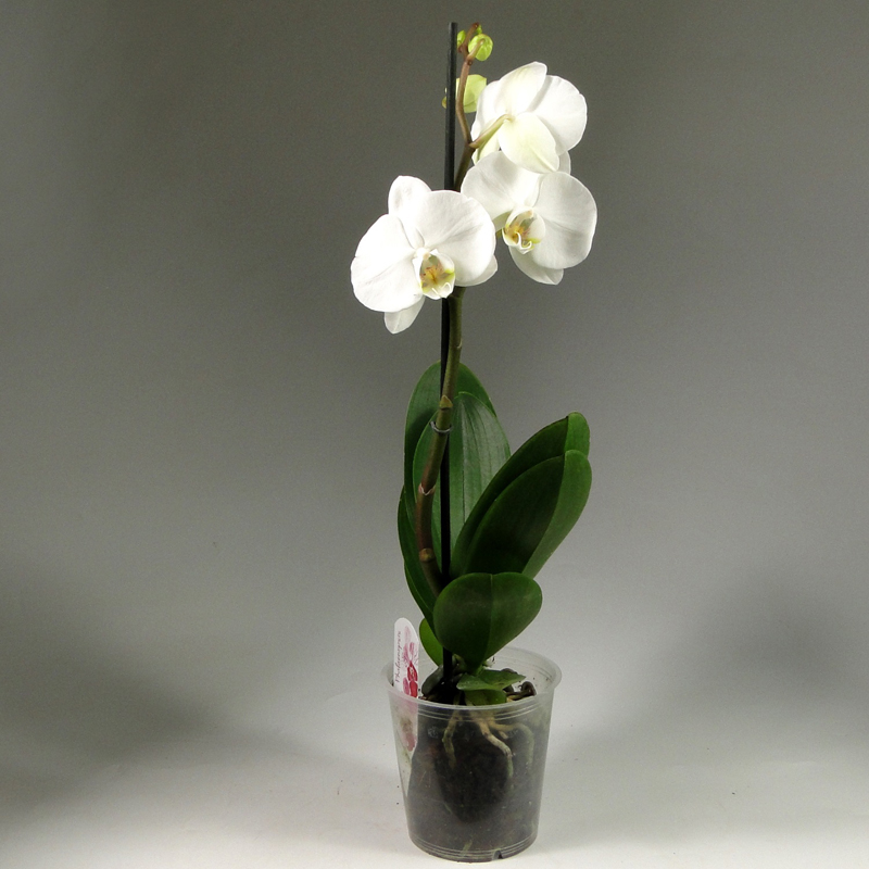 Фаленопсис – самая распространённая орхидея. Цветки живут примерно месяц и достаточно легко выращиваются. Если ухаживать за растением правильно, то сроки цветения заметно увеличиваются