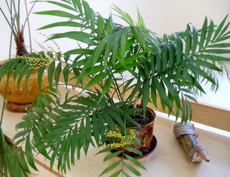 Неанта — мексиканская медленно растущая красавица. Эта пальма подойдёт для небольших помещений, если в них будет поддерживаться нужная температура