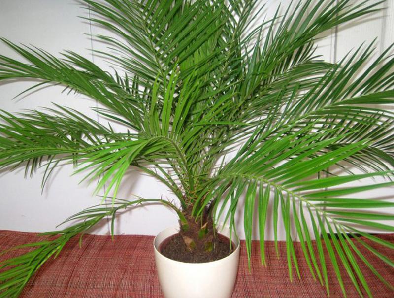 Финик пальчатый тоже растёт очень медленно, но в отличие от многих домашних пальм способен вырасти очень высоким и раскидистым