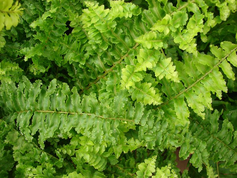 Любимец многих цветоводов — нефролепсис, имеет длинные листья, на которых с обратной стороны располагаются споры. Папоротник довольно густо разрастается и занимает всё большую площадь