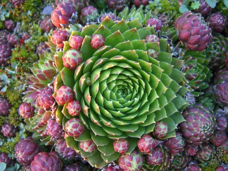 Эчеверию размещают в разнообразных композициях, её разновидности могут прекрасно расти рядом друг с другом
