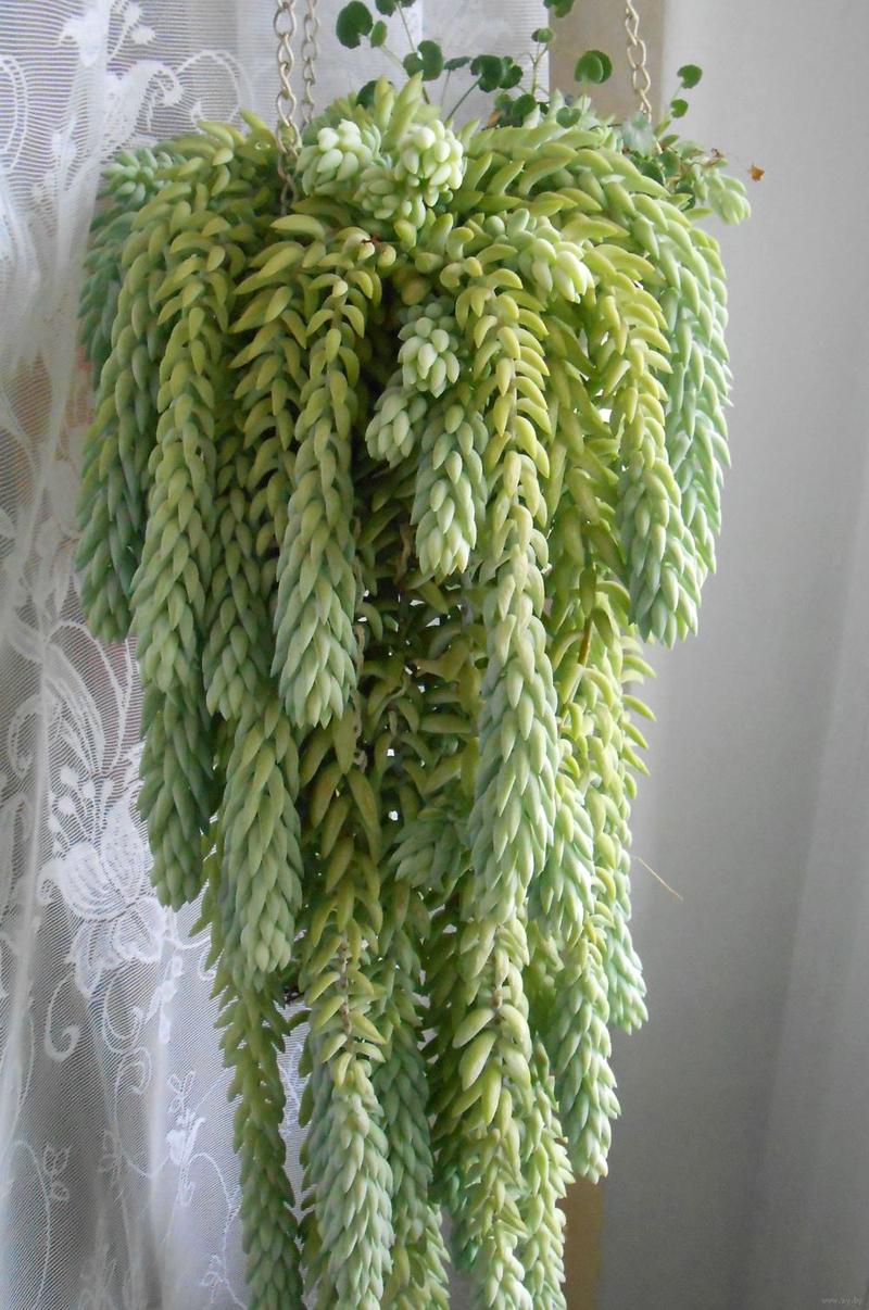 Неприхотливый очиток Моргана не только красив и декоративен, он прекрасно размножается крохотными видоизменёнными листьями, напоминающими бананы