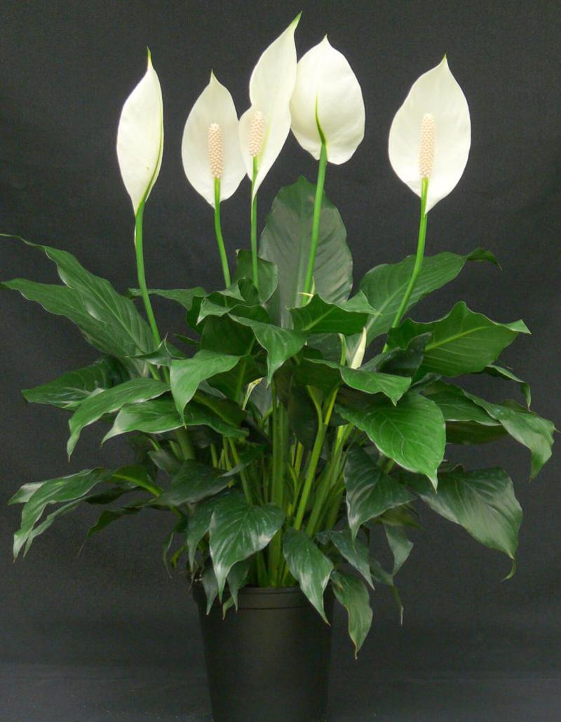Спатифиллум цветёт белыми цветами с жёлто-зелёной сердцевиной. Если ухаживать за ним правильно, то он порадует повторным цветением