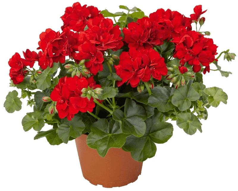 Пеларгонии можно условно отнести к однолетникам: для достойного цветения в будущем году, все черенки обрезают и цветок выращивается заново