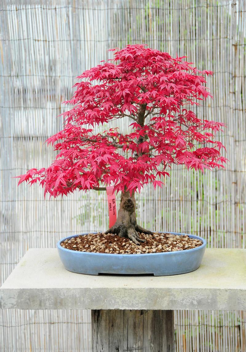 Есть бонсай, которые осенью меняют цвет, а зимой сбрасывают листья, как этот японский клён