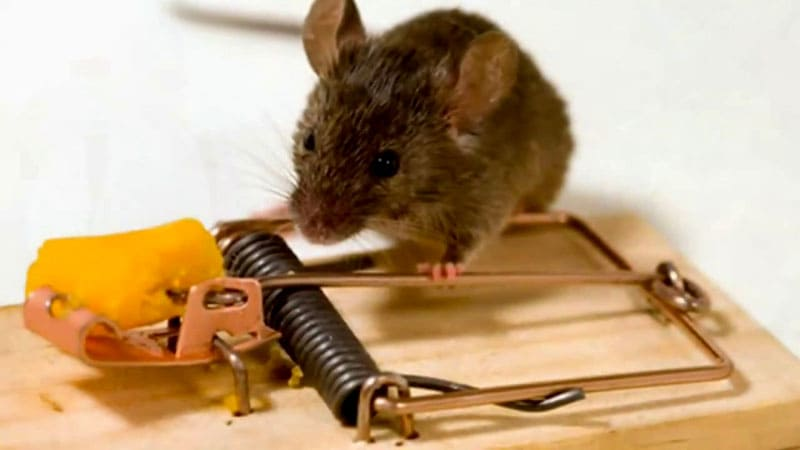 Капкан может поймать только одну мышку