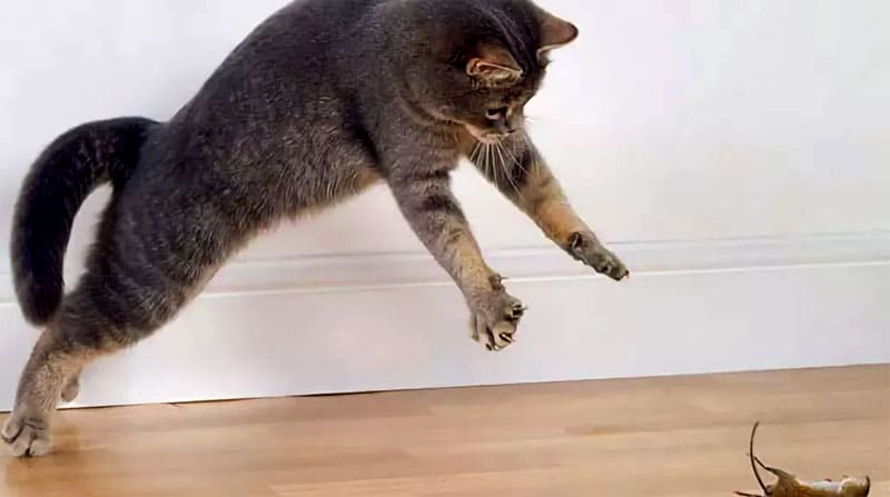 Не каждая кошка сможет ловить мышей