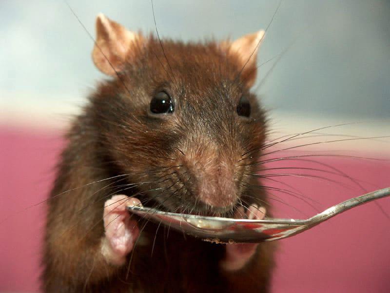Химические отравы приятны на вкус, мыши с удовольствием лакомятся ими