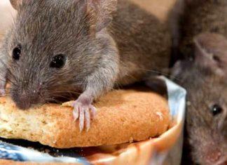 Как избавиться от мышей в квартире и частном доме