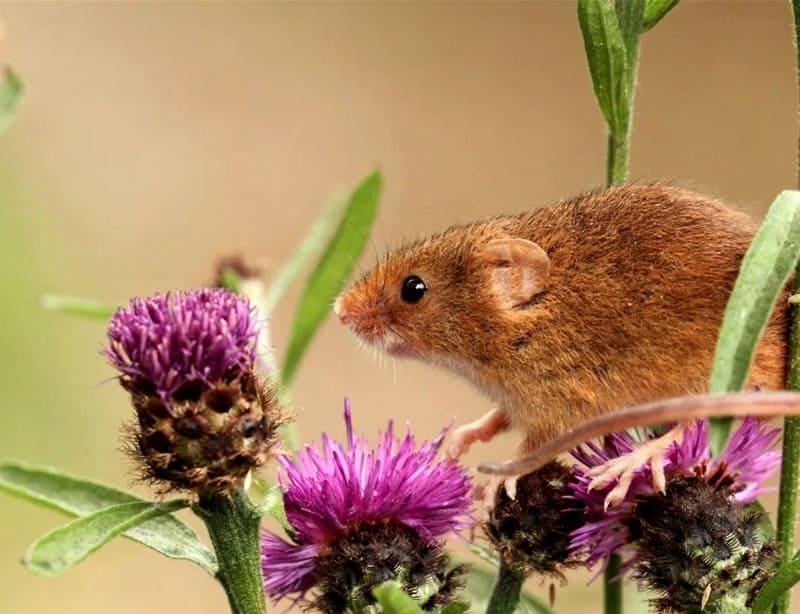 Можно разложить по всей квартире репейник, мыши его категорически не выносят