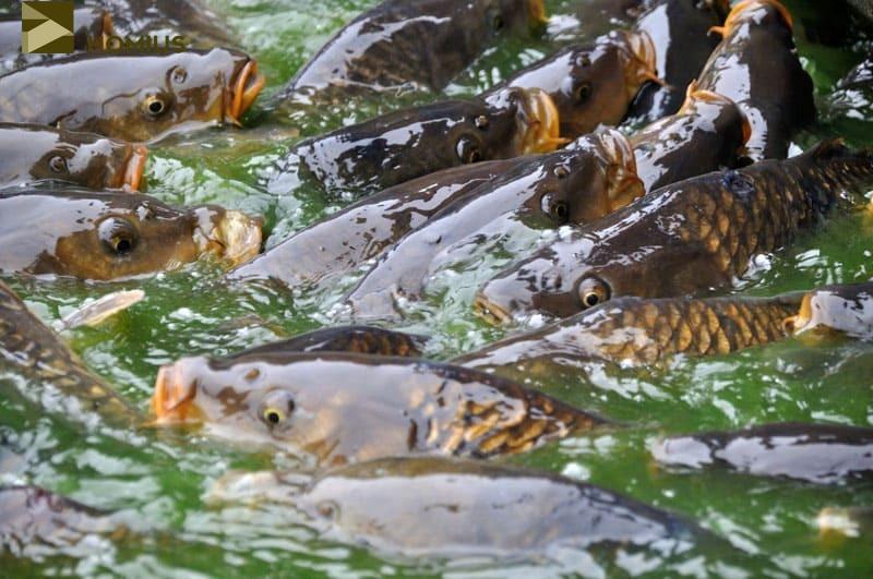 Банда карасей, прожившая у нас год, была торжественно выпущена на свободу в ближайшей речке под недоумевающие взгляды рыбаков, которые случайно стали свидетелями этого мероприятия