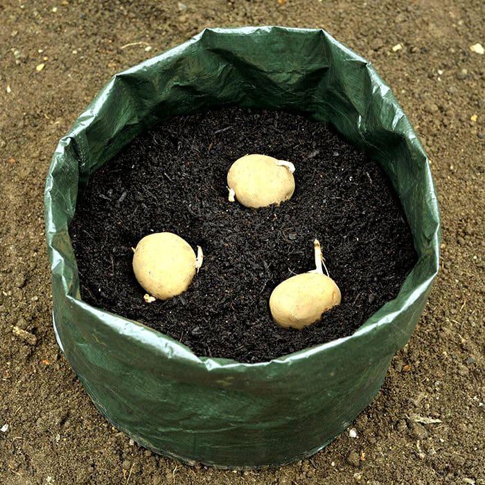 Клубни выкладывают на специально подготовленную почву