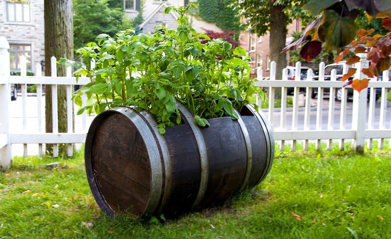 Когда ростки поднимутся на 10-12 см, растения должны получить подкормку калийными и азотными удобрениями