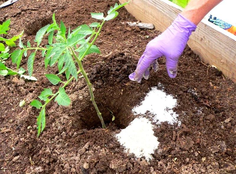 Сладкие и сочные томаты – только такие будут расти на вашей даче